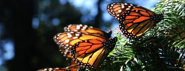 Anmutig und schön sehen sie aus, wie sie sich durch die Natur bewegen, die Monarchfalter.