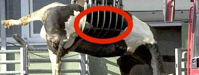 Tiere leiden Höllenqualen beim Tiertransport