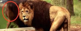 Video: Löwe stürzt sich auf Tiertrainer
